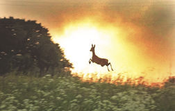 Roe deer jump and a sunset Royalty Free Stock Image