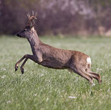 Roe deer jumping. In the field Royalty Free Stock Image