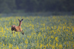 Roe deer jumping over flowers Royalty Free Stock Photos