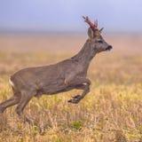 Roe deer jumping Royalty Free Stock Photos