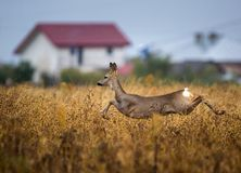 Roe deer jumping. Roe deer running and jumping with a house in the background Stock Image