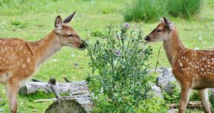 Roe Deer, Kitz, Wild, Forest Royalty Free Stock Photography