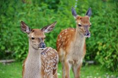 Roe Deer, Kitz, Wild, Forest Stock Photography