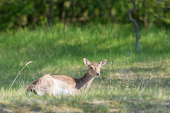 Roe deer laying in high grass Stock Photo