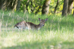 Roe deer laying in high grass Stock Photography