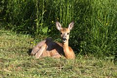 Roe deer laying in meadow, summer time. Stock Images
