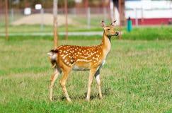 Roe Deer lismar i ett ängfält Royaltyfri Bild
