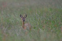 Roe deer look out of the meadow, summer. Capreolus capreolus Royalty Free Stock Image