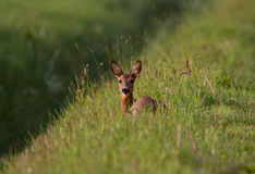 Roe deer lying Royalty Free Stock Photos