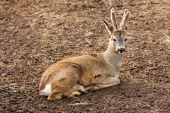 The roe deer Royalty Free Stock Images