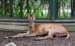 Roe deer Royalty Free Stock Photo