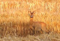 Roe deer male Royalty Free Stock Image