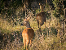 Roe deer male looking left while female runs into the woods Royalty Free Stock Photography