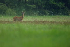 Roe deer male on the magical green grassland Stock Photo