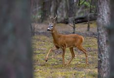 Roe deer male walks in the mossy coniferous forest royalty free stock photography