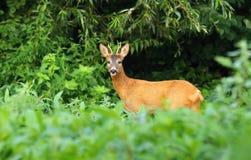 Roe deer male Royalty Free Stock Photos