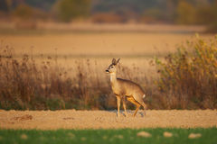 Roe deer marking its territory Stock Images