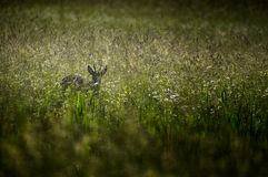 Roe deer in meadow Royalty Free Stock Images