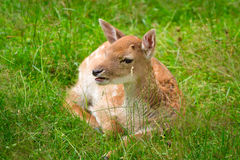 Roe deer on the meadow Royalty Free Stock Images