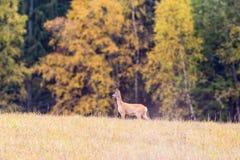 Roe deer in a meadow Stock Photos