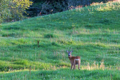 Roe Deer in a meadow Stock Photo