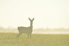 Roe deer. In the mist Stock Image