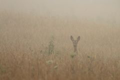 Roe deer in the morning fog Royalty Free Stock Image