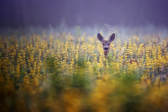 Roe-deer in the morning mist. In the flowers Stock Photography