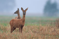 Roe-deer in the morning mist Royalty Free Stock Image