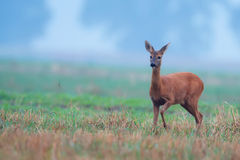 Roe-deer in the morning mist Stock Image