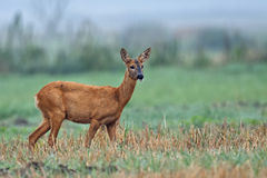 Roe-deer in the morning mist. Roe-deer in the wild, in a clearing Stock Image