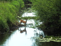 Roe deer in nature Stock Photography