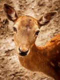 Roe Deer, Nature, Wild, Forest Royalty Free Stock Image