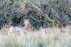 Roe Deer. Deer near Bolderwood, New Forest National Park Royalty Free Stock Photo