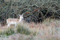 Roe Deer. Deer near Bolderwood, New Forest National Park Stock Images