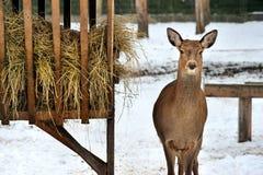 Roe deer near rack in Reserve Bialowieza Forest Stock Photo