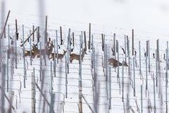 Roe Deer nella vigna durante l'inverno Immagini Stock Libere da Diritti