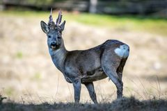 Roe deer with new antlers. Roe deer with hairy antlers watching into the camera, side view stock photo