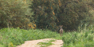 Roe Deer no protetor Foto de Stock Royalty Free