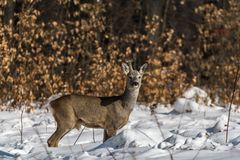Roe deer with one antler, horne, portrait royalty free stock photo
