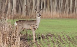 Roe Deer. The roe and roe deer out of the forest early in the morning Stock Photos