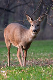 Roe deer in park Royalty Free Stock Image