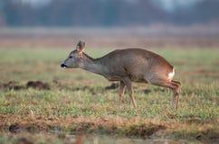 Roe deer peeing Royalty Free Stock Photo