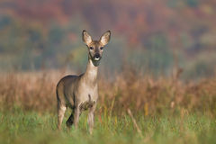 Roe deer Royalty Free Stock Photography