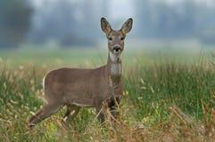 Roe deer Royalty Free Stock Image