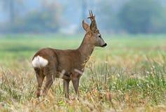 Roe deer Royalty Free Stock Photos
