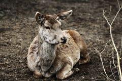 A Roe deer Stock Image