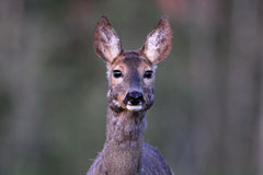 Roe deer portrait Stock Image