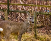Roe deer portrait Royalty Free Stock Photos