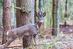 Roe deer portrait Royalty Free Stock Images
